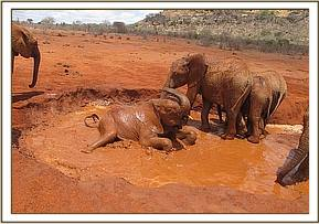 Ndii lying down in the mudwallow