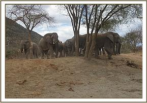 Wild elephants at the mudbath water trough