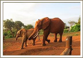 Tsavo tries to play with Kivuko