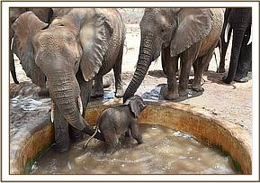 Siku gets into the water trough