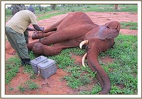 Laikipia immobilized so his wound can be treated
