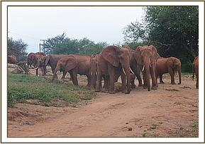 Lesanju and Emily's herd together with Safi