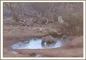 Hyaena drinking water