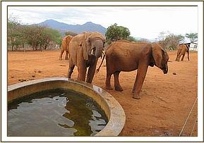 Lempaute at the stockade water trough with Kenia