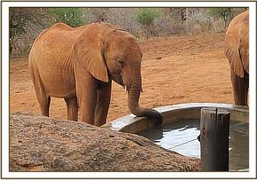Kenia dips her trunk in the watertrough