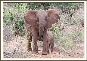 Tuskless cow elephant with calf