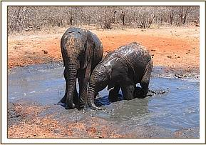 Galana & Ndomot wallowing in the mud