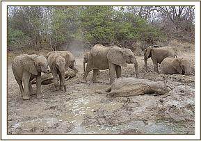 Tomboi, Taita and company resting in the mudbath