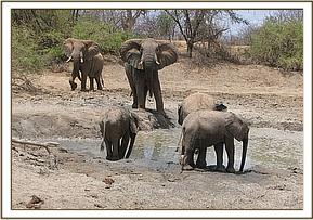 Orphans & wild bulls at mud bath