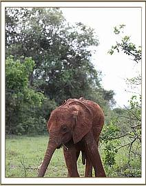Emoli enjoys the lush grass after the rains