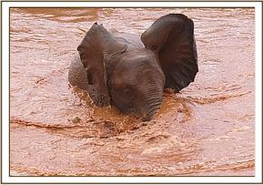 Shimba enjoying a mudbath