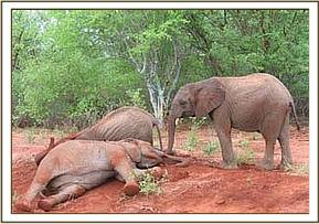 Sunyei & Buchuma soil bathing as Taita watches