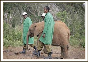 Shimba walking with his keepers