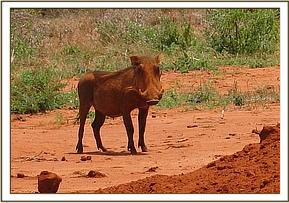 Warthogs at the mudhole