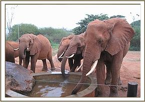 Laikipia and other ex orphans having a drink