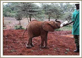 Kiasa having her milk at mud bath