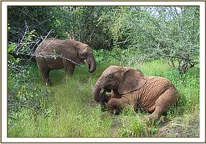 Naserian feeds while Sunyei rests on the ground