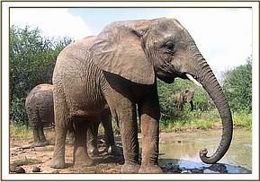 Yatta scoops mud with her trunk