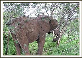 Mulika peels back off from acacia tree