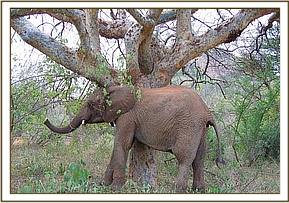 Taita scratching on a tree