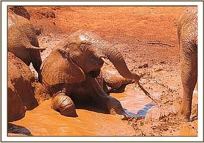 Lempaute enjoying a mudbath