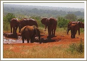 The orphans and Emily's herd having a mud bath