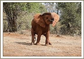 Mteto playing with her trunk