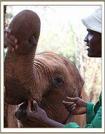 The keepers feel Makireti's tusks