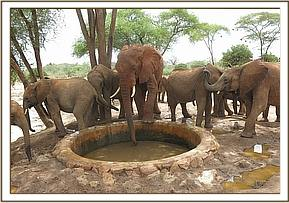 Napasha at the water trough with the young ones