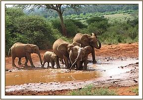 A wild group enjoy a mud bath at the waterhole