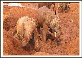 Tassia left and Shimba playing in the mudbath