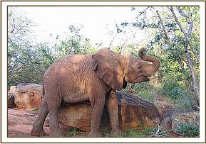 Sunyei scratching on a rock