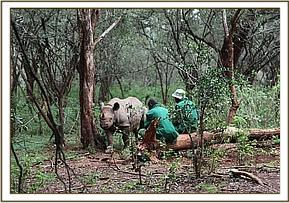 Solio in the bush with her keepers