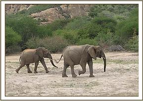 Mulika followed by young wild elephant