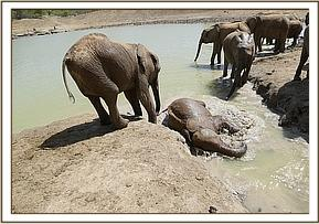 Ukame wallowing in the mud bath