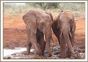 Mpala & Bura at the mudbath