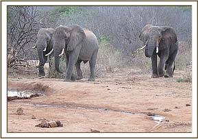 Wild elephants coming for water