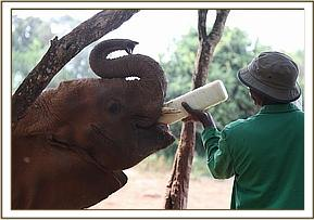 Murera enjoying milk