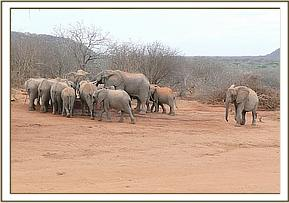 The ex orphans with wild elephants