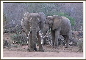 Wild elephants near the stockades
