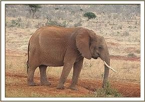 Wild elephant at Msinga