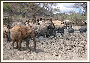 Ex orphans, orphans and wild eles at the mudbath