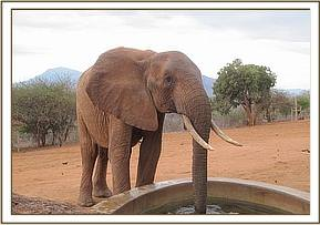 Tsavo having a drink