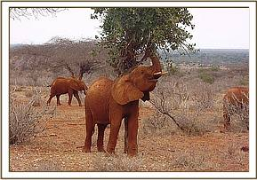 Laikipia investigates a birds nest with her trunk